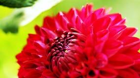 Κινηματογράφηση σε πρώτο πλάνο του κόκκινου λουλουδιού - λουλούδι του //beautiful στοκ εικόνες με δικαίωμα ελεύθερης χρήσης