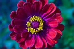 Κινηματογράφηση σε πρώτο πλάνο του κόκκινου λουλουδιού της Zinnia στην πλήρη άνθιση που κεντροθετείται στοκ εικόνα