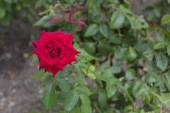 Κινηματογράφηση σε πρώτο πλάνο του κόκκινου λουλουδιού τριαντάφυλλων που ανθίζει στον κήπο Στοκ φωτογραφία με δικαίωμα ελεύθερης χρήσης