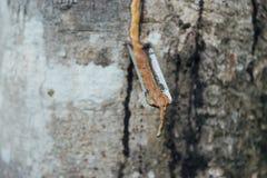Κινηματογράφηση σε πρώτο πλάνο του λαστιχένιου λατέξ που εξάγεται από το λαστιχένιο δέντρο Στοκ Εικόνες