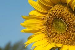 Κινηματογράφηση σε πρώτο πλάνο του λουλουδιού ήλιων ενάντια σε έναν μπλε ουρανό στοκ εικόνα