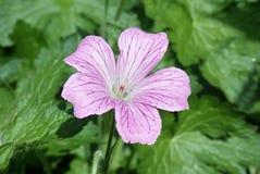 Κινηματογράφηση σε πρώτο πλάνο του λουλουδιού γερανιών στοκ φωτογραφία με δικαίωμα ελεύθερης χρήσης