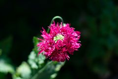 Κινηματογράφηση σε πρώτο πλάνο του λουλουδιού παπαρουνών στην πλήρη άνθιση στοκ εικόνα