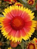 Κινηματογράφηση σε πρώτο πλάνο του λουλουδιού gerbera στοκ εικόνες με δικαίωμα ελεύθερης χρήσης