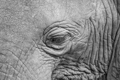 Κινηματογράφηση σε πρώτο πλάνο του ματιού ελεφάντων μαύρος & άσπρος στοκ εικόνες
