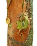Κινηματογράφηση σε πρώτο πλάνο του παλαιού ζωηρόχρωμου δέντρου arbutus Στοκ Εικόνες