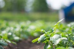 Κινηματογράφηση σε πρώτο πλάνο του πράσινου βγαλμένου φύλλα λαχανικού στον τομέα στοκ φωτογραφία με δικαίωμα ελεύθερης χρήσης