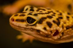 Κινηματογράφηση σε πρώτο πλάνο του προσώπου ενός eublephar κατοικίδιου ζώου gecko λεοπαρδάλεων με ένα μαλακό θολωμένο υπόβαθρο στοκ εικόνες