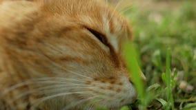 Κινηματογράφηση σε πρώτο πλάνο του προσώπου μιας κόκκινης ενήλικης γάτας που καλύπτει τα μάτια του στην πράσινη χλόη   απόθεμα βίντεο