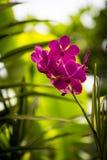 Κινηματογράφηση σε πρώτο πλάνο του ροδανιλίνης λουλουδιού ορχιδεών στον κήπο με το διασκορπισμένο υπόβαθρο Στοκ Φωτογραφίες