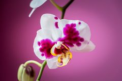 Κινηματογράφηση σε πρώτο πλάνο του ρόδινου λουλουδιού ορχιδεών στοκ φωτογραφία με δικαίωμα ελεύθερης χρήσης