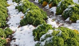 Κινηματογράφηση σε πρώτο πλάνο του σγουρού κατσαρού λάχανου με το χιόνι Στοκ Εικόνες