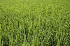 Κινηματογράφηση σε πρώτο πλάνο του τομέα ρυζιού στοκ εικόνα