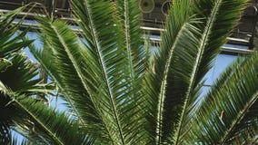 Κινηματογράφηση σε πρώτο πλάνο του φοίνικα με τα μεγάλα φύλλα στο βοτανικό κήπο ενάντια στο μπλε ουρανό Μήκος σε πόδηα αποθεμάτων φιλμ μικρού μήκους