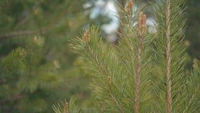 Κινηματογράφηση σε πρώτο πλάνο του φρέσκου πράσινου νέου κλάδου πεύκων που ταλαντεύεται στον αέρα απόθεμα δέντρα φυτών απόθεμα βίντεο