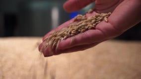 Κινηματογράφηση σε πρώτο πλάνο του χεριού της γυναίκας σχετικά με το χρυσό τομέα σίτου απόθεμα βίντεο