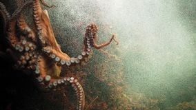 Κινηματογράφηση σε πρώτο πλάνο του χταποδιού που κολυμπά με τα πλοκάμια του στοκ εικόνα με δικαίωμα ελεύθερης χρήσης