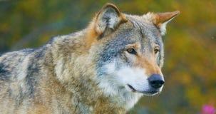 Κινηματογράφηση σε πρώτο πλάνο του όμορφου γκρίζου λύκου που στέκεται στη δασική παρατήρηση