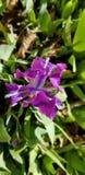 Κινηματογράφηση σε πρώτο πλάνο του όμορφου λουλουδιού ελατηρίων σε ένα φωτεινό πορφυρό χρώμα στοκ εικόνες