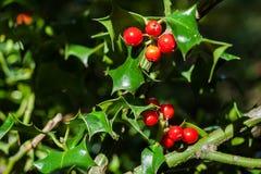 Κινηματογράφηση σε πρώτο πλάνο του aquifolium Ilex ή των ευρωπαϊκών φύλλων και των φρούτων ελαιόπρινου Στοκ Εικόνες