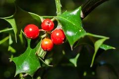 Κινηματογράφηση σε πρώτο πλάνο του aquifolium Ilex ή των ευρωπαϊκών φύλλων και των φρούτων ελαιόπρινου Στοκ εικόνα με δικαίωμα ελεύθερης χρήσης