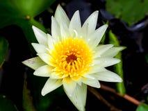 Κινηματογράφηση σε πρώτο πλάνο το κίτρινο λουλούδι λωτού Στοκ Εικόνες