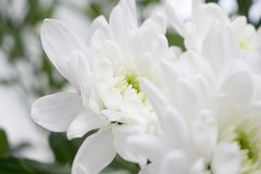 Κινηματογράφηση σε πρώτο πλάνο των άσπρων λουλουδιών χρυσάνθεμων με το πράσινο θολωμένο υπόβαθρο Στοκ Εικόνα