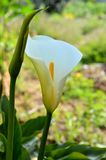 Κινηματογράφηση σε πρώτο πλάνο των άσπρων λουλουδιών Zantedeschia, Calla, κρίνος Arum Στοκ Εικόνα