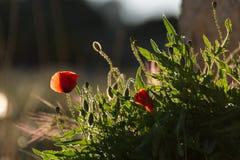 Κινηματογράφηση σε πρώτο πλάνο των ανθίζοντας κόκκινων παπαρουνών πέρα από τις άγριες χλόες σε ένα χρυσό ηλιοβασίλεμα Χαρακτηριστ στοκ εικόνες με δικαίωμα ελεύθερης χρήσης