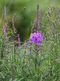 Κινηματογράφηση σε πρώτο πλάνο των ανθίζοντας λουλουδιών Fireweed στοκ φωτογραφίες με δικαίωμα ελεύθερης χρήσης