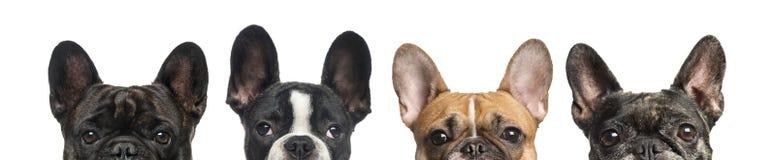 Κινηματογράφηση σε πρώτο πλάνο των ανώτερων κεφαλιών των σκυλιών, που απομονώνονται στοκ εικόνες