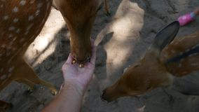Κινηματογράφηση σε πρώτο πλάνο των αρσενικών ταΐζοντας ελαφιών χεριών στο αγρόκτημα απόθεμα βίντεο