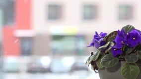 Κινηματογράφηση σε πρώτο πλάνο των αφρικανικών ιωδών ανθίσεων λουλουδιών στο υπόβαθρο παραθύρων Πτώση χιονιού φιλμ μικρού μήκους