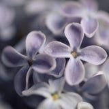 Κινηματογράφηση σε πρώτο πλάνο των ιωδών λουλουδιών Ένα σύμβολο της εποχής άνοιξης στοκ εικόνες