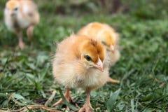 Κινηματογράφηση σε πρώτο πλάνο των κίτρινων κοτόπουλων στη χλόη, κίτρινα μικρά κοτόπουλα, μια ομάδα κίτρινων κοτόπουλων Καλλιέργε στοκ φωτογραφία