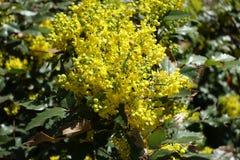 Κινηματογράφηση σε πρώτο πλάνο των κίτρινων λουλουδιών και οφθαλμοί του aquifolium Mahonia Στοκ Εικόνες