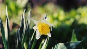 Κινηματογράφηση σε πρώτο πλάνο των κίτρινων daffodils
