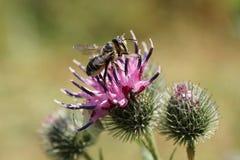 Κινηματογράφηση σε πρώτο πλάνο των καυκάσιων άσπρος-γκρίζων υμενόπτερων Megachile μελισσών rotun στοκ φωτογραφία με δικαίωμα ελεύθερης χρήσης