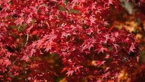 Κινηματογράφηση σε πρώτο πλάνο των κόκκινων φύλλων φθινοπώρου, ιαπωνικός σφένδαμνος στοκ εικόνα