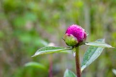 Κινηματογράφηση σε πρώτο πλάνο των κόκκινων peonies στο κόκκινο peony μακρο burgundy κήπων peony λουλούδι Στοκ Φωτογραφίες