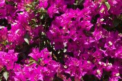 Κινηματογράφηση σε πρώτο πλάνο των λουλουδιών Bougainvillea Στοκ Φωτογραφία
