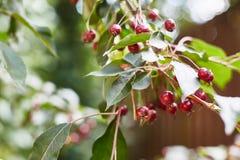 Κινηματογράφηση σε πρώτο πλάνο των μήλων παραδείσου σε ένα δέντρο στοκ εικόνες