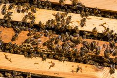 Κινηματογράφηση σε πρώτο πλάνο των μελισσών στην κηρήθρα στο μελισσουργείο Στοκ Εικόνες