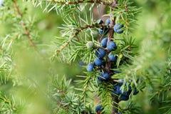 Κινηματογράφηση σε πρώτο πλάνο των μούρων ιουνιπέρων που αυξάνονται στο δέντρο στοκ εικόνα