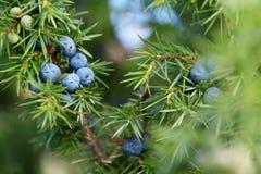 Κινηματογράφηση σε πρώτο πλάνο των μούρων ιουνιπέρων που αυξάνονται στο δέντρο στοκ φωτογραφία με δικαίωμα ελεύθερης χρήσης