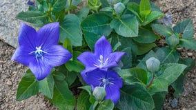 Κινηματογράφηση σε πρώτο πλάνο των μπλε bellflowers στον κήπο βράχου Campanula Carpatica στοκ φωτογραφία με δικαίωμα ελεύθερης χρήσης