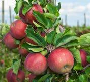 Κινηματογράφηση σε πρώτο πλάνο των νόστιμων μήλων έτοιμων για τη συγκομιδή Στοκ Εικόνα