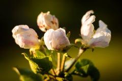 Κινηματογράφηση σε πρώτο πλάνο των οφθαλμών ανθών μήλων στην ηλιοφάνεια βραδιού στοκ εικόνες με δικαίωμα ελεύθερης χρήσης