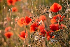 Κινηματογράφηση σε πρώτο πλάνο των παπαρουνών και άλλων wildflowers στο ηλιοβασίλεμα, άνοιξη στην Προβηγκία Στοκ Φωτογραφίες