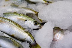 Κινηματογράφηση σε πρώτο πλάνο των πρόσφατα πιασμένου ψαριών ή Boops Boops γοπών για την πώληση στην ελληνική αγορά ψαριών Στοκ Εικόνες